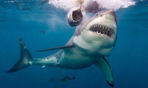 Μεγάλος λευκός καρχαρίας