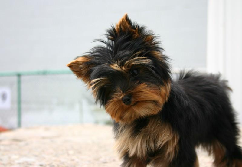 Seven-week-old Yorkshire Terrier female