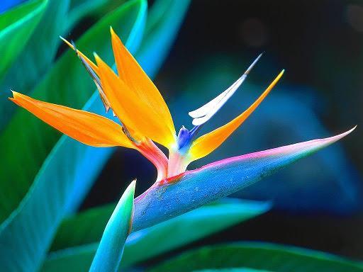 bird-of-paradise-flower-1[7]