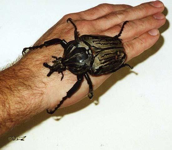 Largest Insects 09