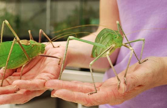 Largest Insects 13