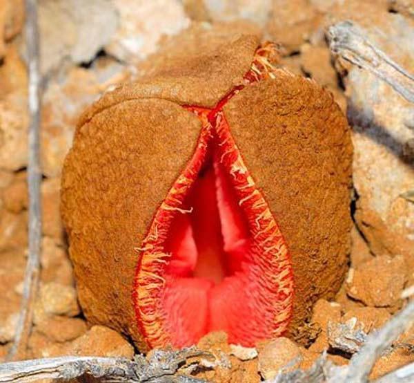 Φυτά σε σχήμα... γεννητικών οργάνων!