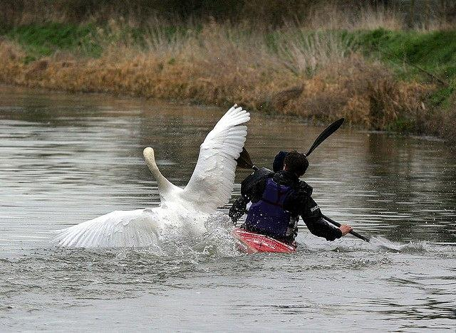 Swan+attack