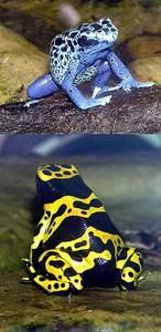 Δηλητηριώδες βάτραχος